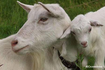 Описание и характеристика 10 лучших молочных пород коз
