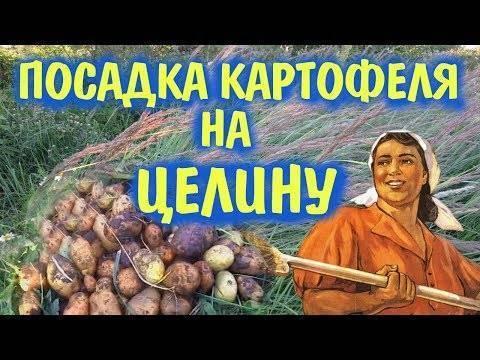 Правила посадки и выращивания картофеля по методу галины кизимы