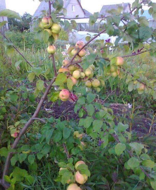 Сорт яблони братчуд – описание, фото