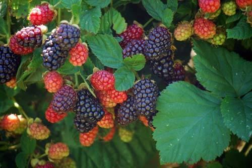Уход за садовой ежевикой: золотые правила садоводов