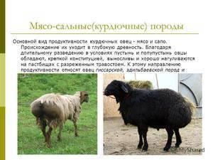 Романовская порода овец: содержание и разведение
