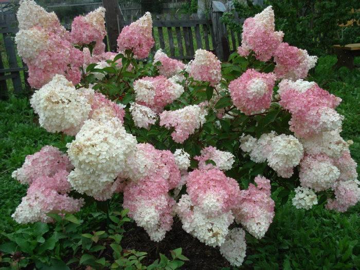 Подкормка гортензии осенью для красивого цветения
