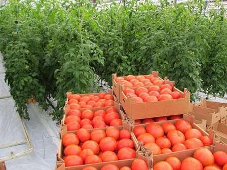 Самые устойчивые к болезням сорта томатов: выбираем семена урожайных помидоров для теплиц и открытого грунта, а также вникаем в вопросы о вирусах и грибках
