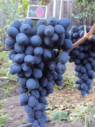 Виноград восторг: описание сорта, фото, отзывы, правила посадки, выращивания и ухода