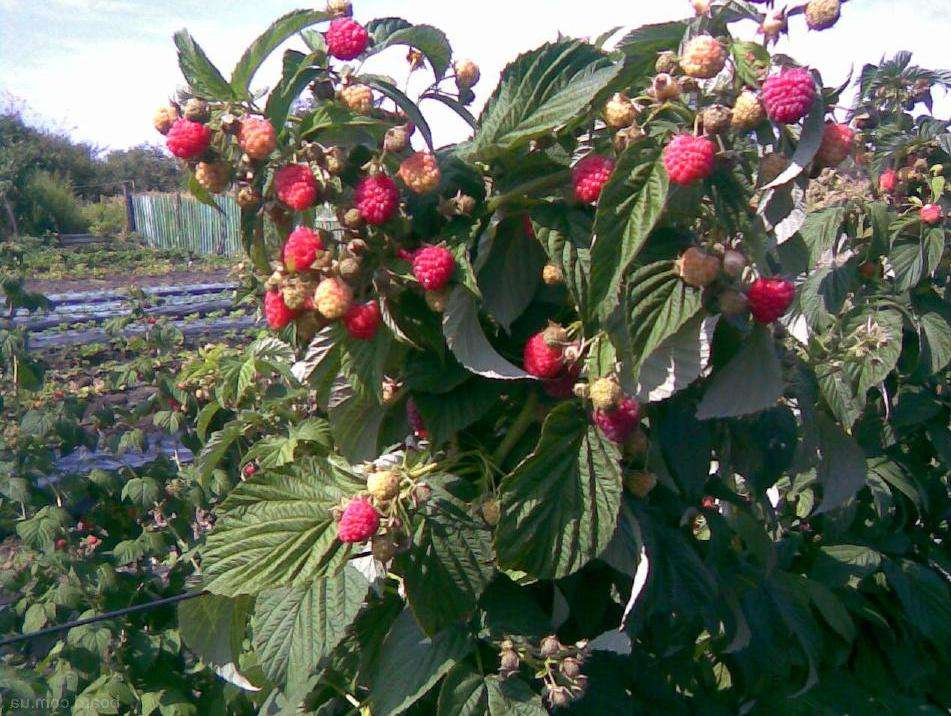 Малина таруса: малиновое дерево в вашем саду