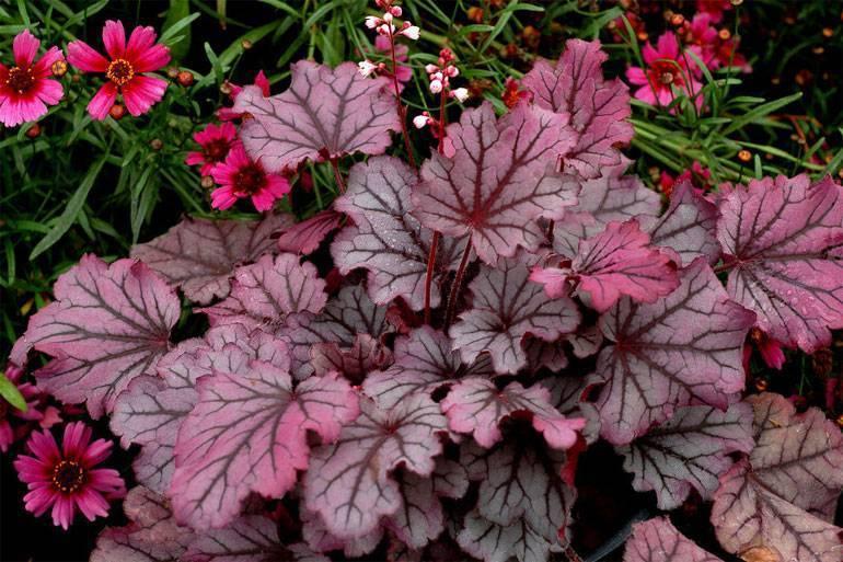 О сорте гейхеры Мармелад : описание сорта, как посадить и ухаживать