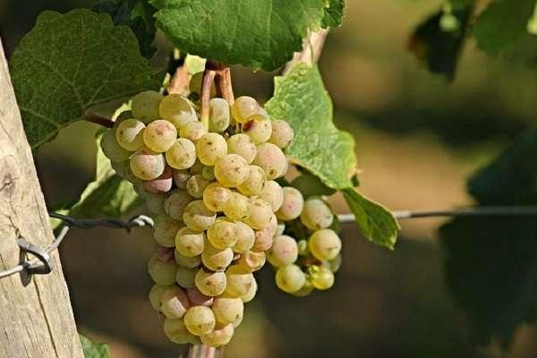 Обработка винограда после зимы от болезней и вредителей