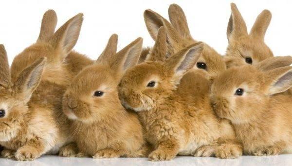 Как случать кроликов: советы для начинающих кролиководов