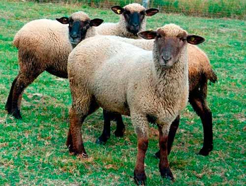 Овца • описание, фото, особенности питания, распространение