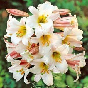 Белая лилия — описание, посадка и уход