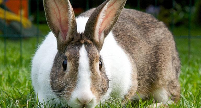 Беременность крольчихи: сколько длится, признаки, рекомендации |  ветеринарная служба владимирской области