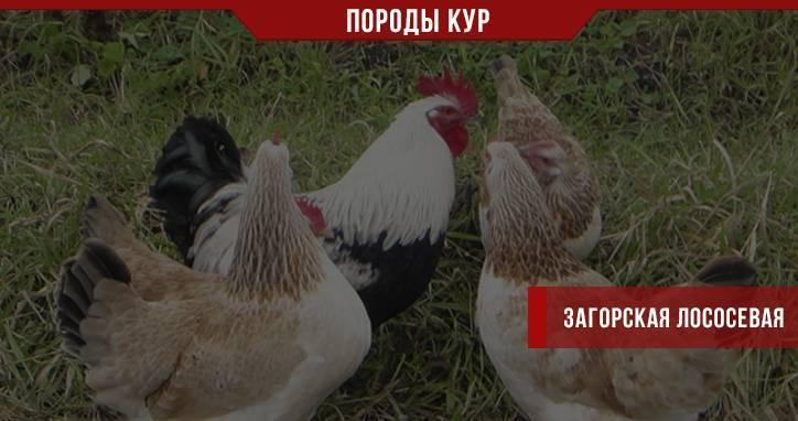 Породы кур для сибири: обзор лучших пород и список зарубежных морозоустойчивых экземпляров