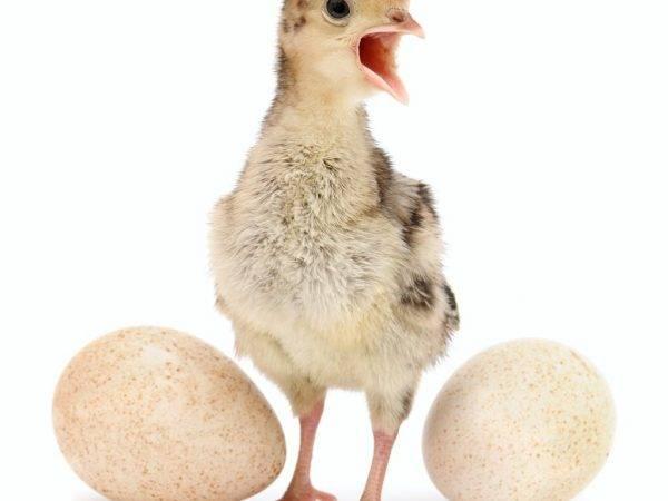 Все про выведение яиц под гусыней наседкой