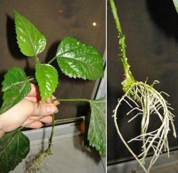 Размножение гибискуса садового и уход за ним: выращивание из семян и черенков, забота о древовидном и травянистом виде после посадки в открытый грунт, фото цветка