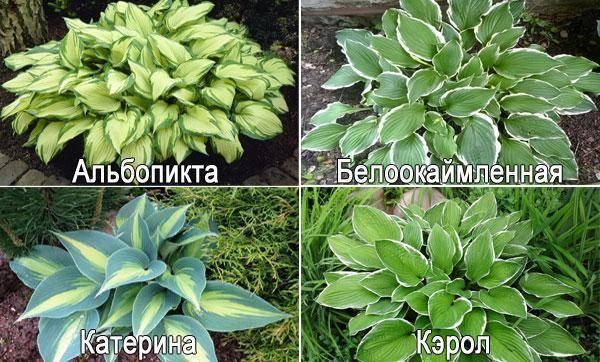Хоста из семян: как вырастить красавицу сада