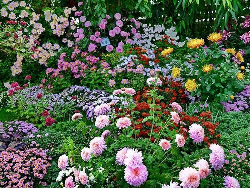Новые сорта хризантемы корейской