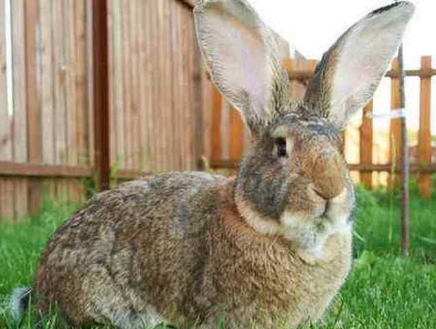 Описание самой крупной породи кроликов ризен