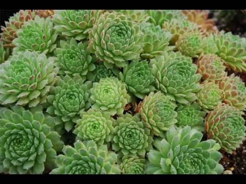 Цветы молодило, выращивание и размножение