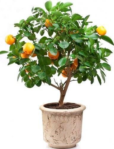 Мандариновое дерево: уход в домашних условиях, особенности полива и освещения, фото