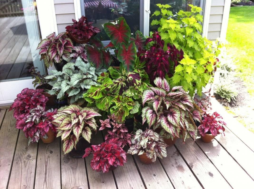 Уход за декоративно-лиственной бегонии в домашних условиях
