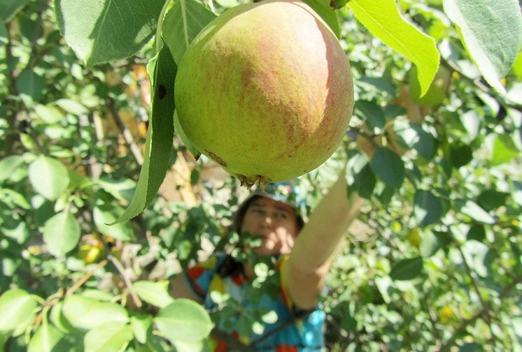 О яблоне Розочка: описание сорта, характеристики, агротехника, выращивание