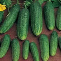 Огурец адам f1: описание, агротехника, отзывы о гибриде голландской селекции