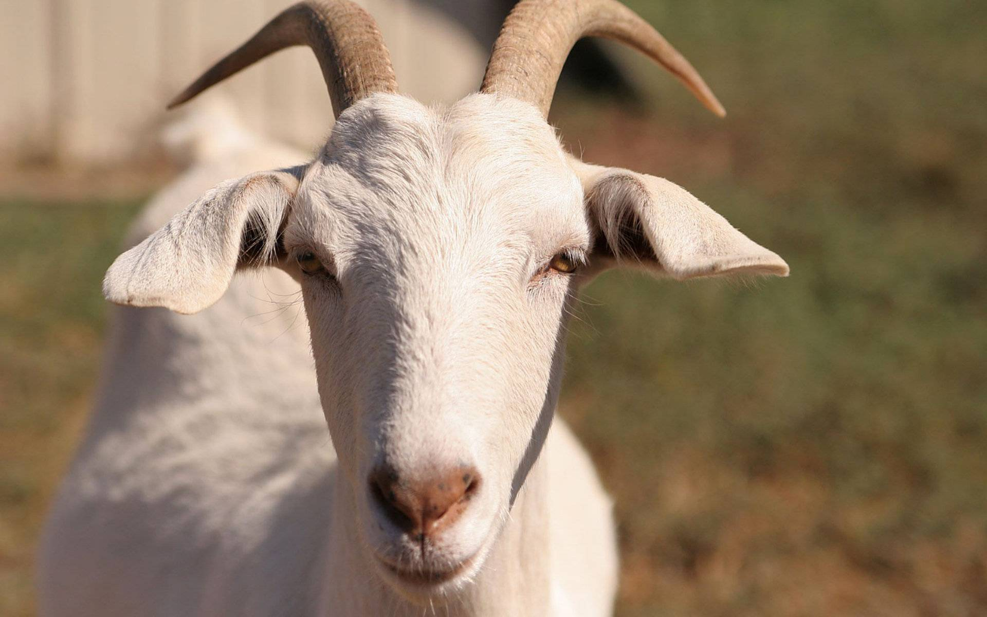 Уход и выращивание козлят в домашних условиях и на фермах 2020