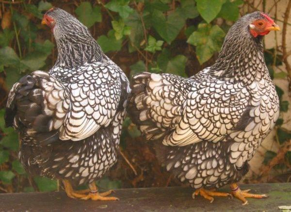 О самых красивых породах кур, описание и характеристики цыплят и петухов