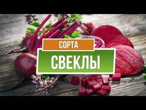Сладкие сорта свеклы. лучшие сорта свеклы для подмосковья, сибири и средней полосы россии.   красивый дом и сад