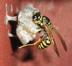 О яде осы и пчелы: разница, состав, из чего состоит, действие на организм