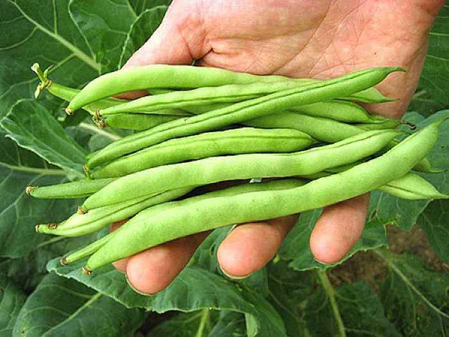 Фасоль спаржевая: выращивание и уход - подробная информация!