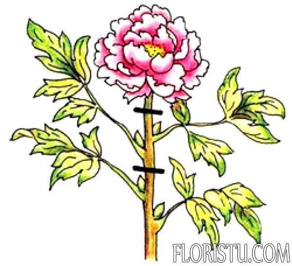 Лилии отцвели - что делать дальше, как ухаживать за растением?