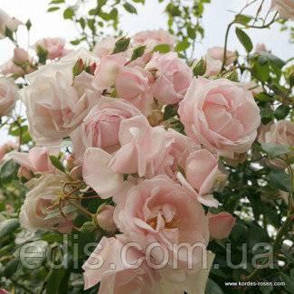 Роза нью даун — рассмотрим детально