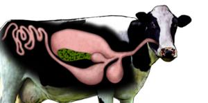 Нет жвачки у коровы: что делать