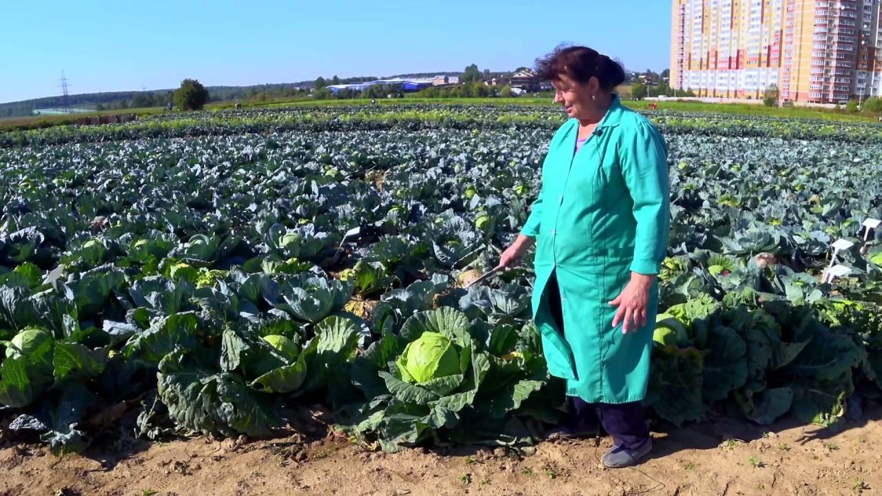 Особенности выращивания сорта капусты московская поздняя