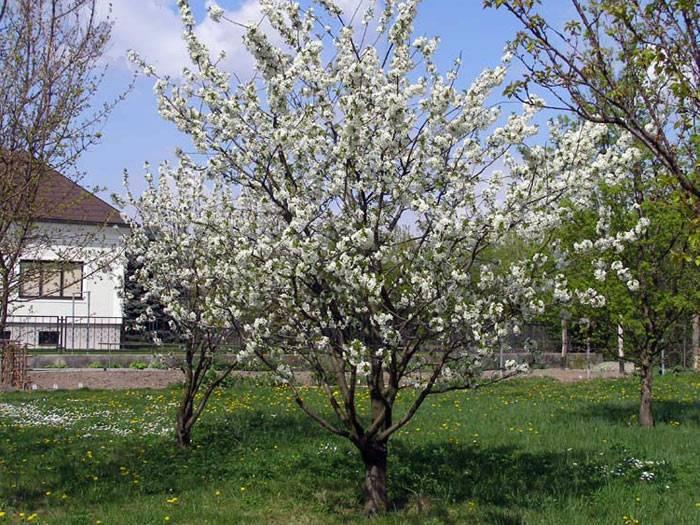 Рядом с яблоней можно ли посадить терн. что лучше всего посадить рядом с вишней