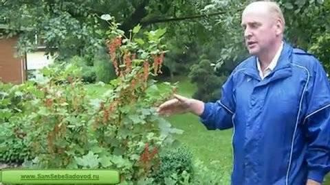 Как и когда сажать чёрную смородину — пошаговое руководство