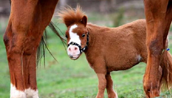 Миниатюрные лошади