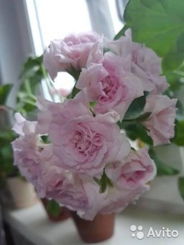 Описание пеларгонии millfield rose: как посадить и ухаживать, размножение герани