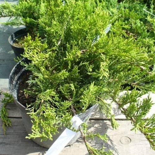 Можжевельник казацкий – как правильно ухаживать, размножать и пересаживать растения, возможные болезни