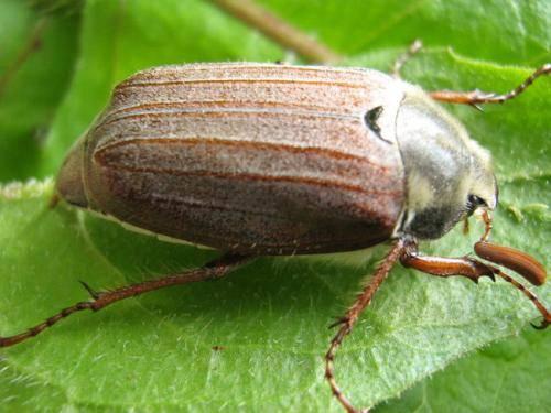 Борьба с личинками майского жука на клубнике в огороде