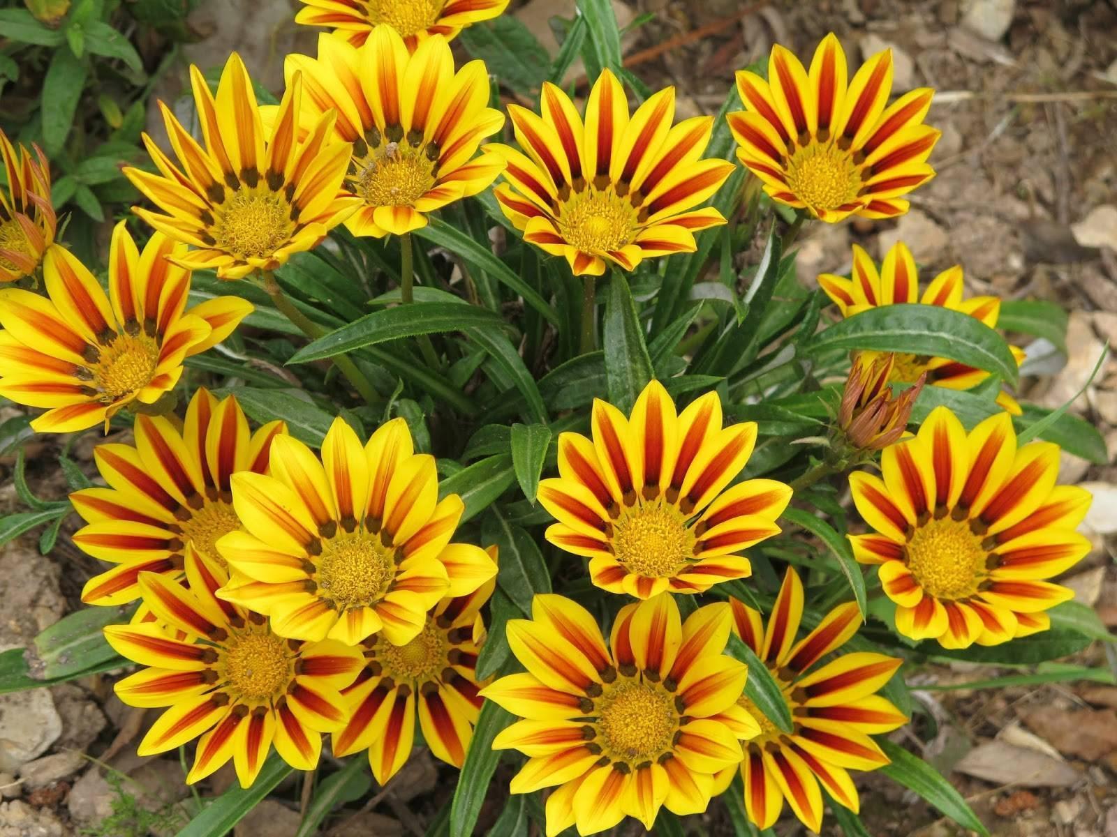 Газания многолетняя – посадка растение в открытый грунт и должный уход