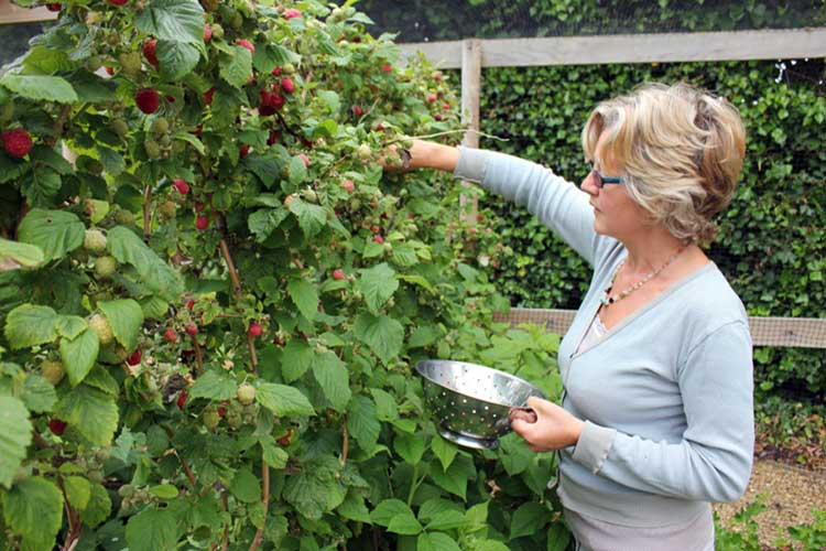 Как подвязать малину правильно весной и осенью