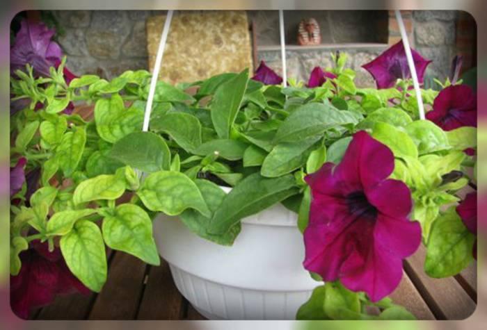 Как бороться с мучнистой росой на петунии: 2+3 проверенного способа и профилактика