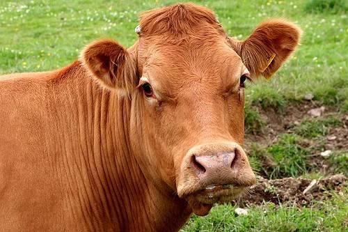 Что делать, если корова не жует жвачку и не ест