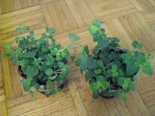Душица: выращивание и уход в домашних условиях