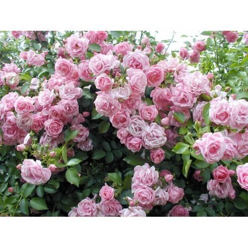 Плетистые розы: описание 20 лучших сортов, посадка и уход, размножение, обрезка | (75 фото & видео) +отзывы