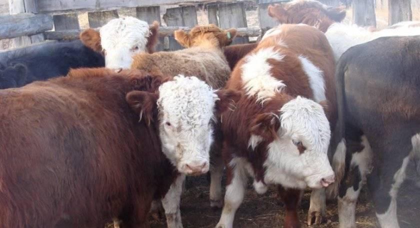 Советы опытных животноводов по выращиванию бычков на мясо