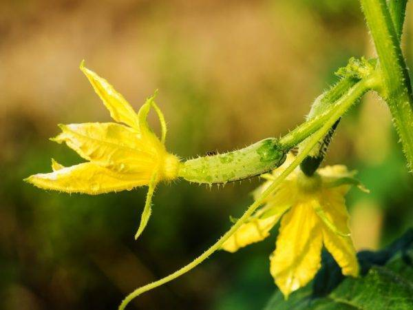 Пустоцвет на огурцах, что делать - самые действующие советы