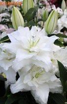 Многолетний цветок — лилия восточная с описанием и фото
